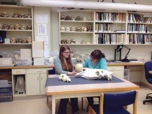 Casey Bleuel photo: Grad students Sara Fredette and Kaitlyn Sanders look at skulls in the soon to be named bone lab.