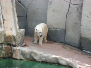 Javi Cubillos photo: Norton the polar bear was brought to the Erie Zoo from the Detroit Zoo in 2008. He is one of the main attractions.
