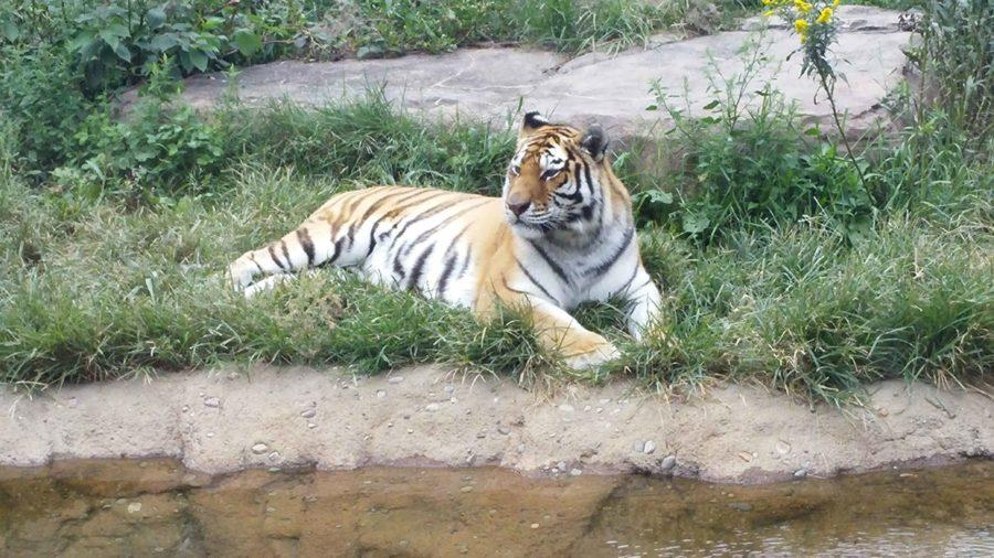 The Erie Zoo's Bengal tiger hangs out on a hot day by the water.